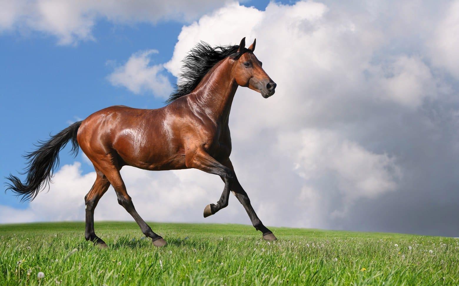 Cheval bai courant dans un champs utilisé dans la page Apprendre à rouler le R en russe